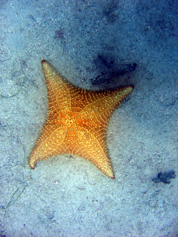 Sea Star with 4 arms @ Waterlemon
