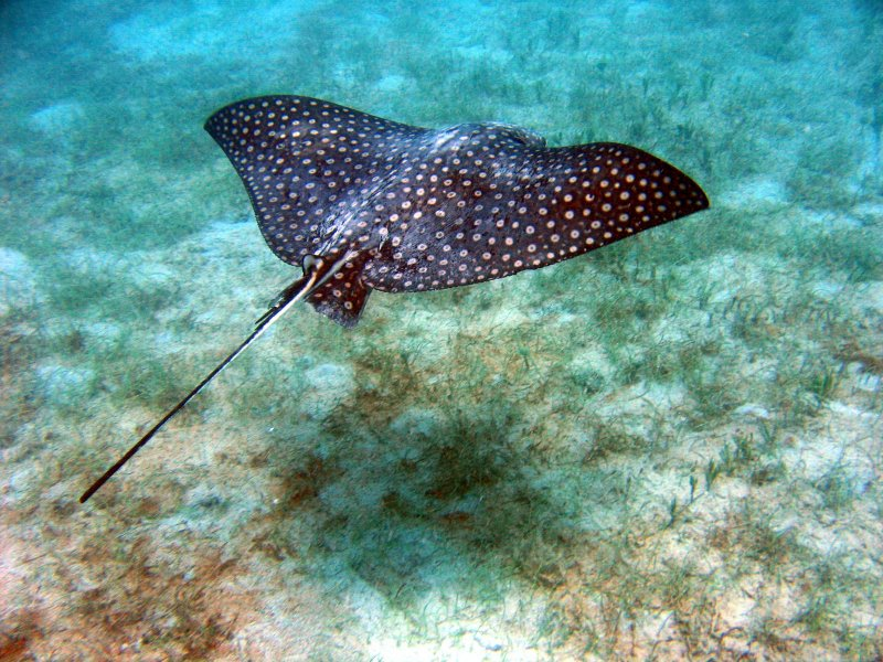 Spotted Eagle Ray @ Waterlemon
