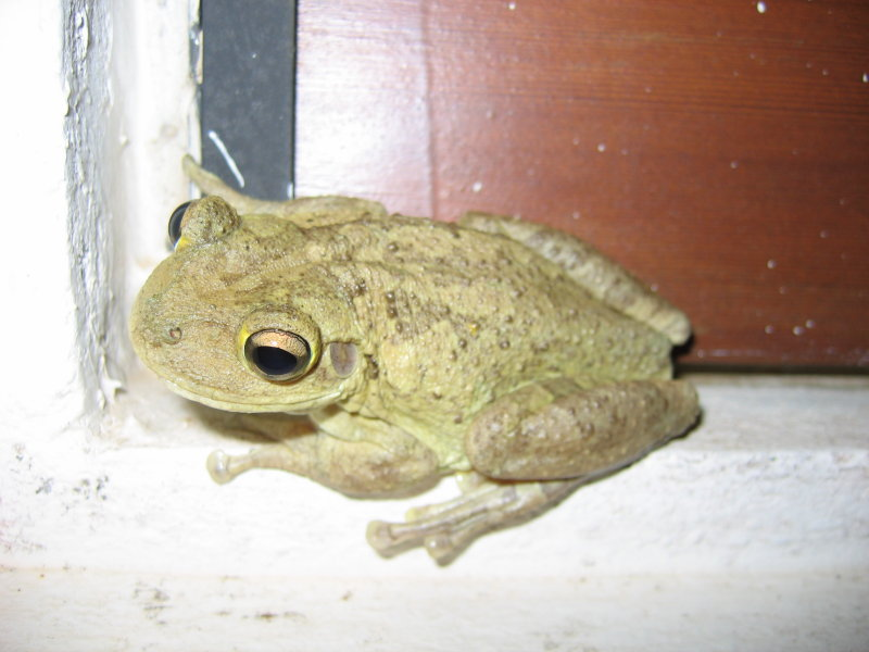 Frog at our villa