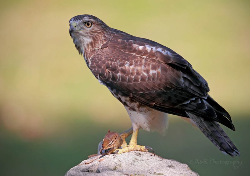 Red Tail Hawk II pb.jpg