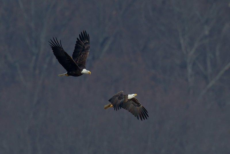 Bald Eagles pb.jpg