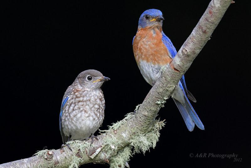 Eastern Bluebirds pb.jpg