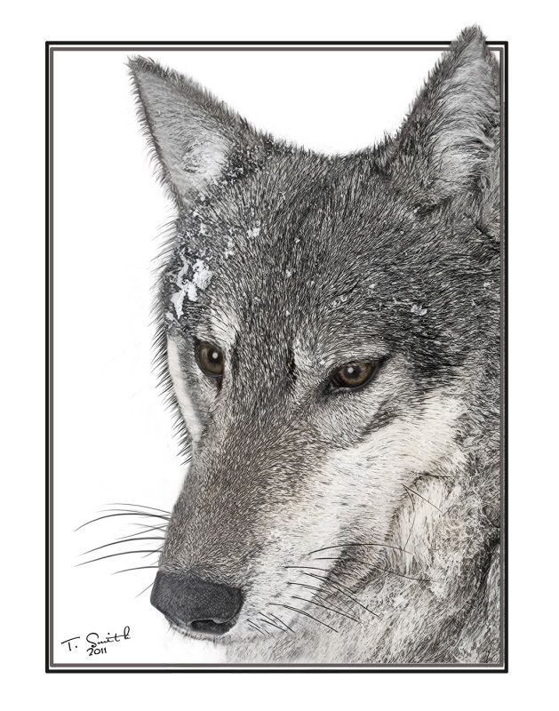 Collared Wolf  LC09