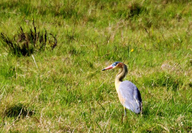 Rocha Lagoon, Whistling Heron