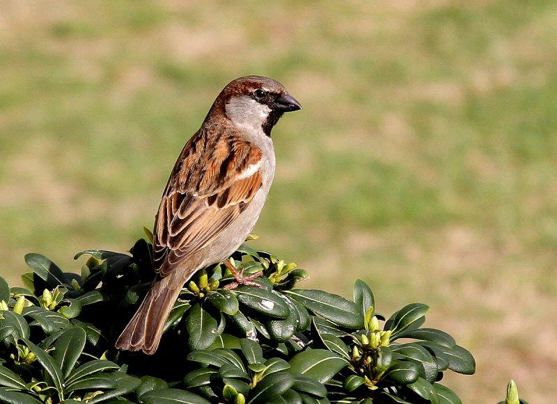 House Sparrow Male Breeding