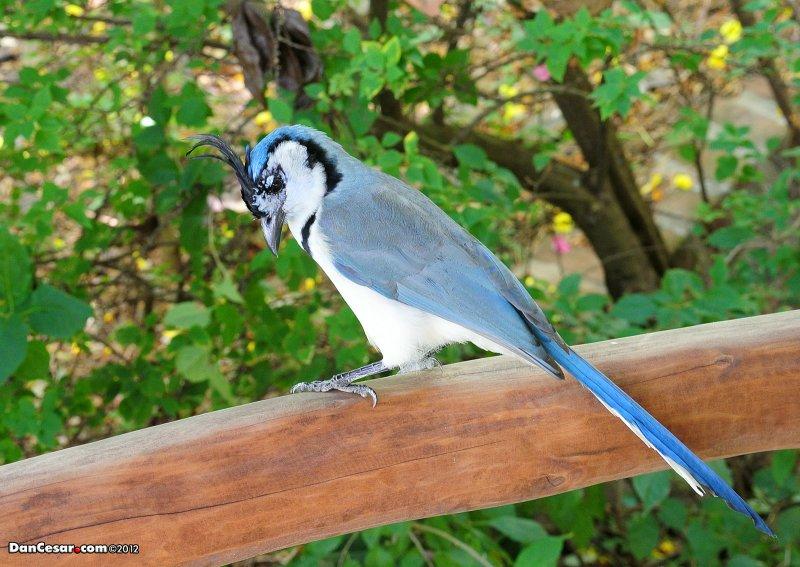 White-throated Magpie-Jay, Calocitta formosa