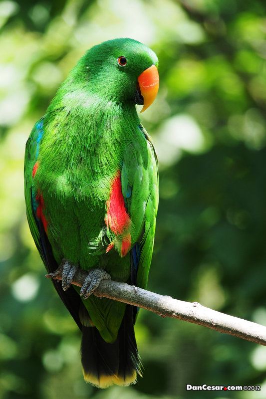 Electus Parrot at the KC Zoo
