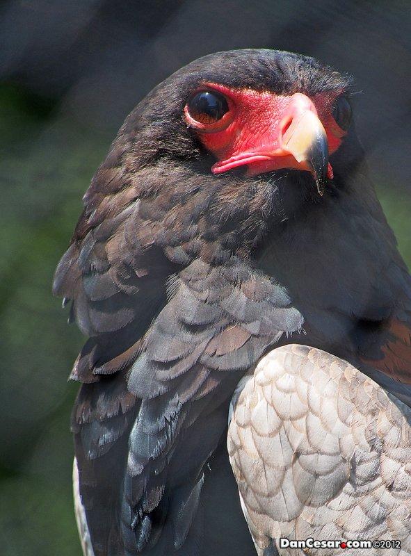 Terathopius ecaudatus, Bateleur Eagle