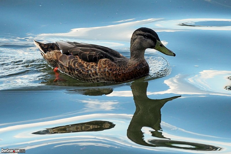 Duck in the Allegheny River