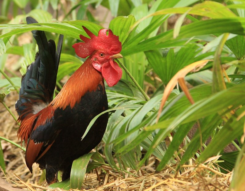 One Fine Looking Rooster