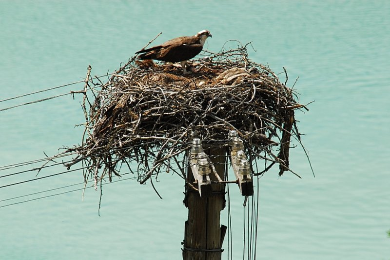 Close-Up of Ospreys Nest With Chick and Egg