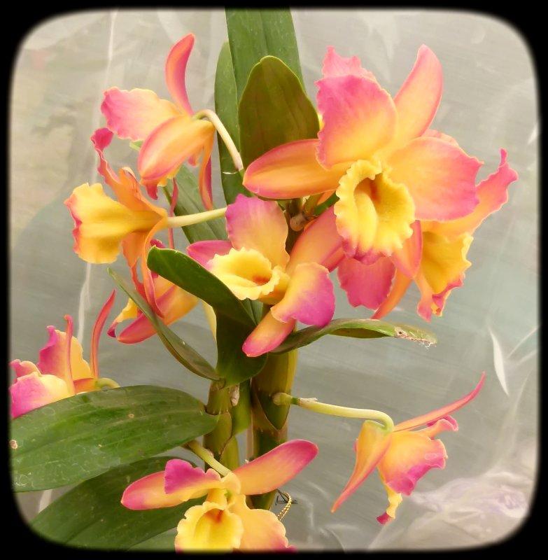 Dendrobium Primer Lugar Morelia 2011