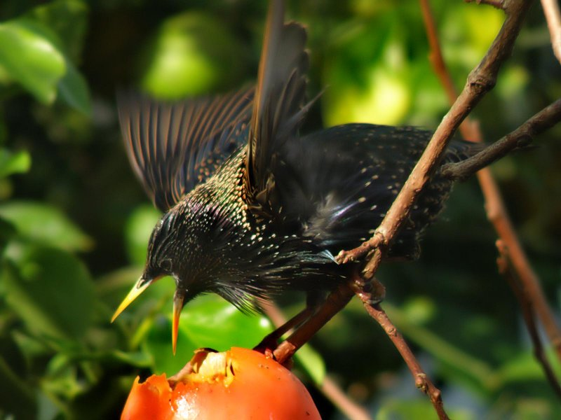 Starling 23