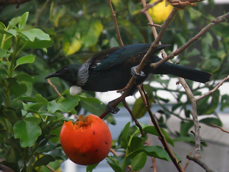 Tui Parson Bird 26