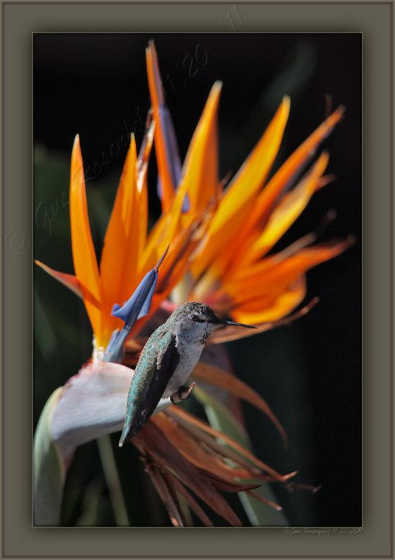 A Humming Bird Of Paradise