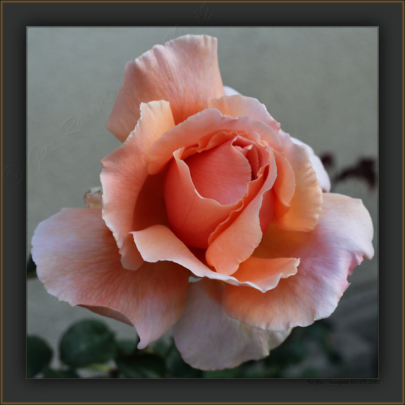 The Courtyard Rose