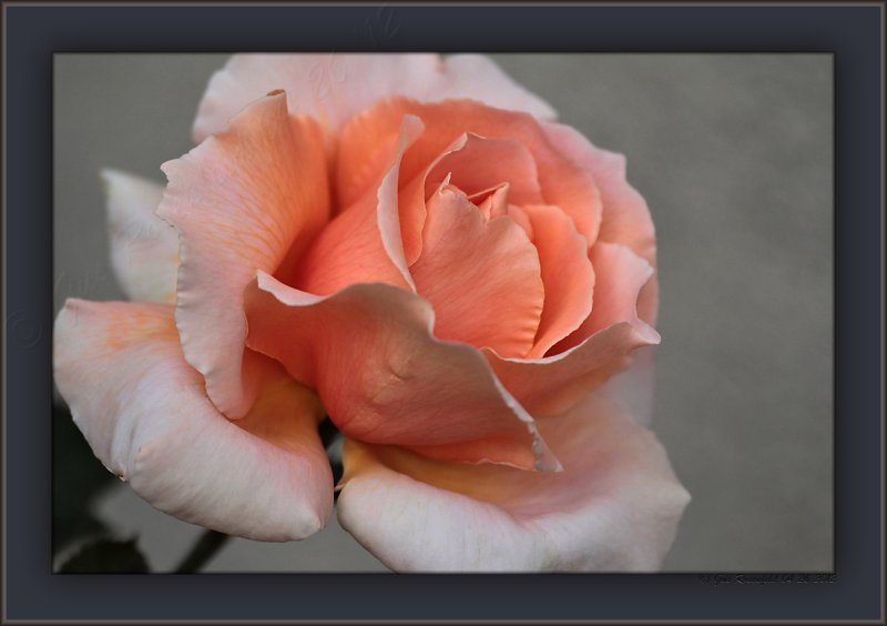 April Offering Of The Courtyard Rose