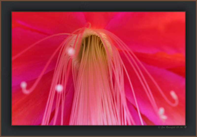 Information Center For Night Blooming Epiphyllum Hybrid