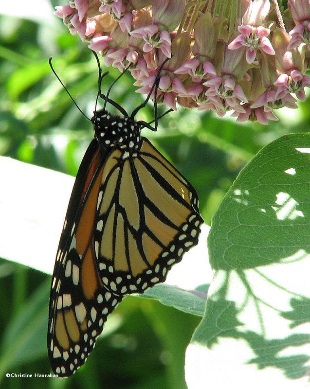 Monarch nectaring on common milkweed (<em>Asclepias syriaca</em>)