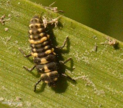 Spotted lady beetle (Coleomegilla maculata)  larva