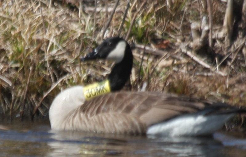Canada Goose Yellow Neck Band