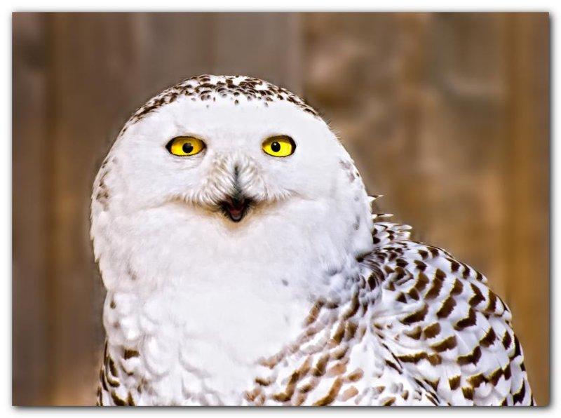 Snowy Owl V