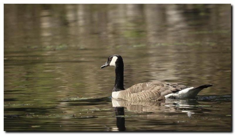 Canada Goose V