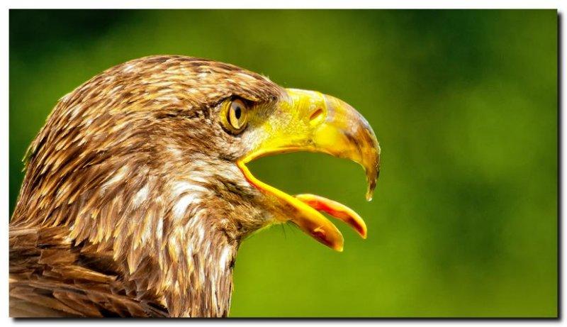 Juvenile Bald Eagle IV