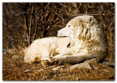 Yawning Wolf II