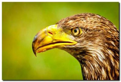 Juvenile Bald Eagle II