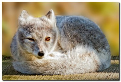Arctic Fox II