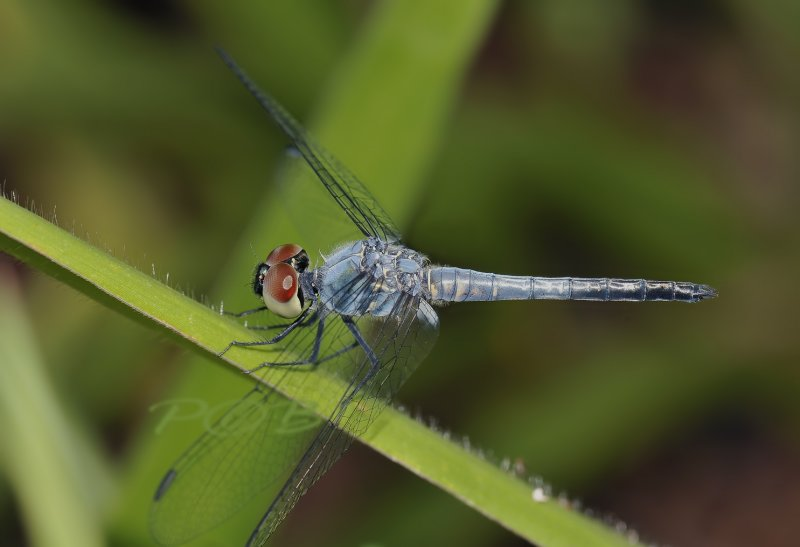 Brachydiplax sobrina-male