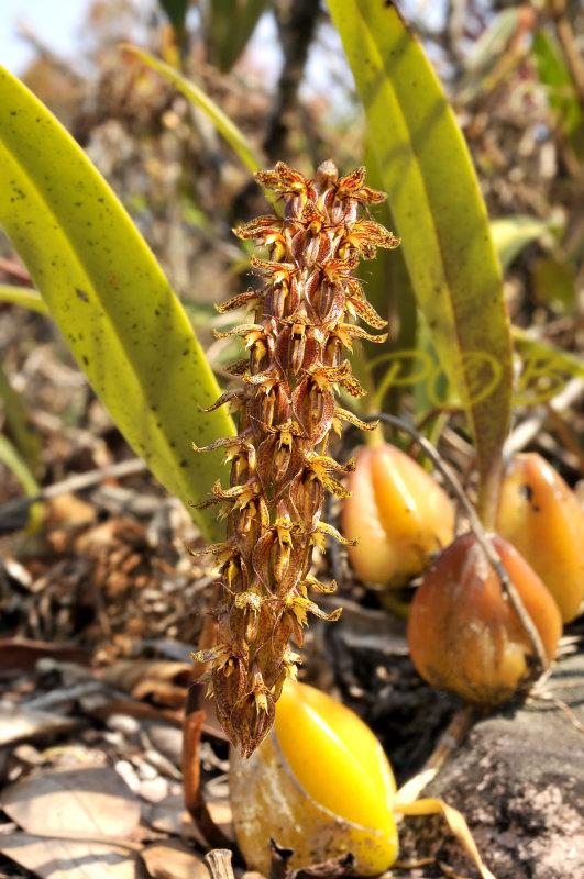 Bulbophyllum morphologorum, on sandstone 1450 mtr. Thailand