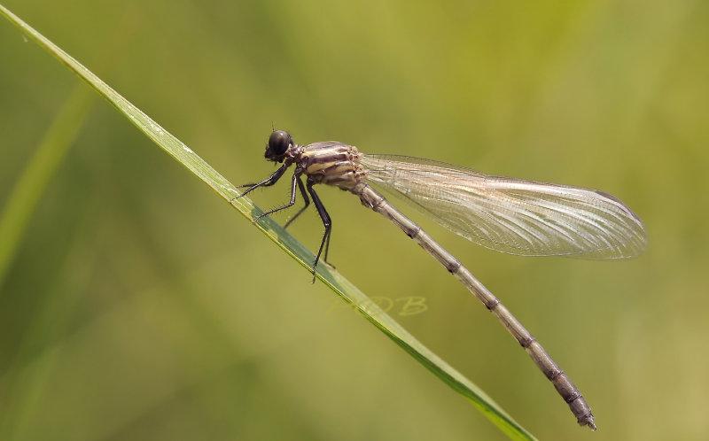 Euphaea ochracea,  immature male