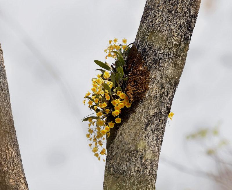 Dendrobium lindleyi, Phu soi dao Thailand 20 meters of the ground