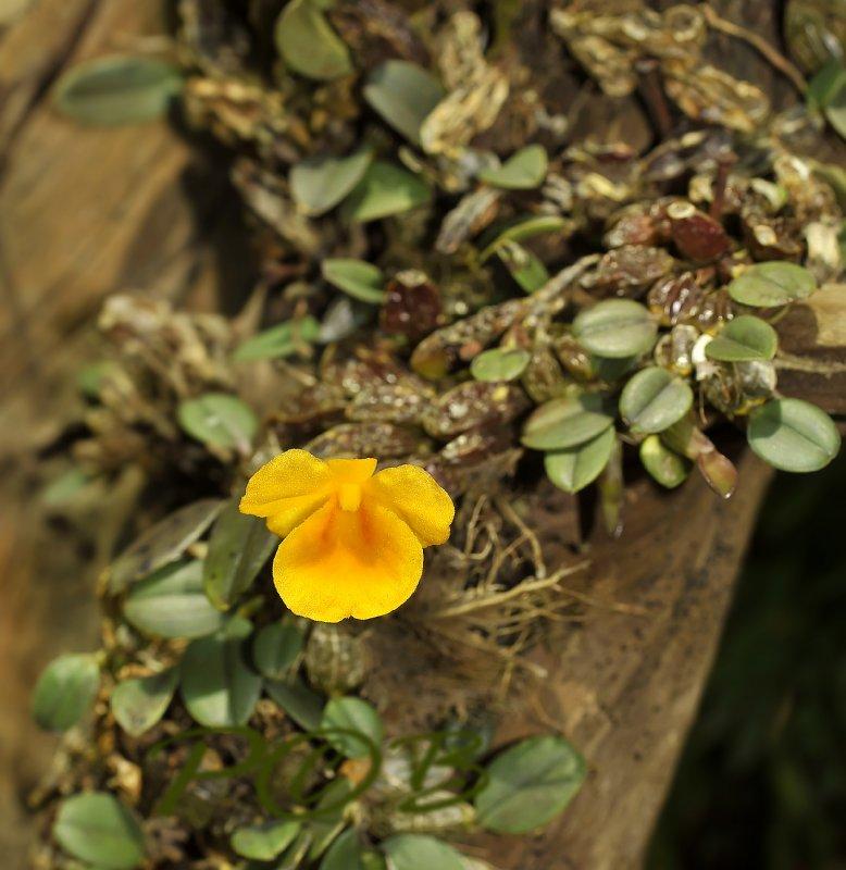 Dendrobium jenkensii, Laos