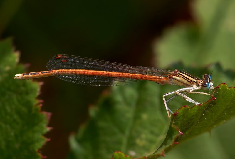 Oranje breedscheenjuffer man  Platycnemis acutipennis