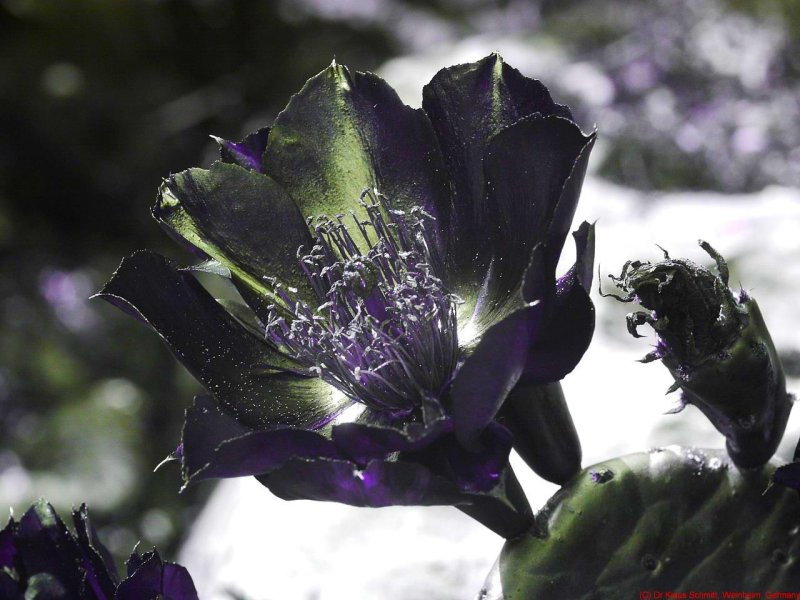 Opuntia_humifusa_UV_P1440750_c.jpg