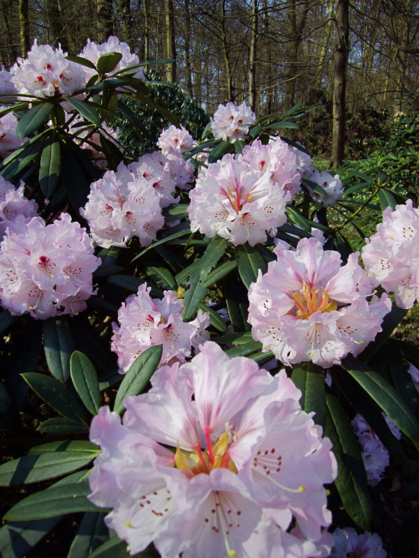 These rhododendron are in bloom!