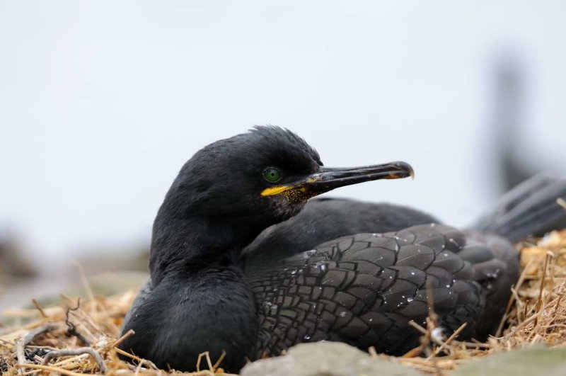 Shag  Farne Islands Northumbria