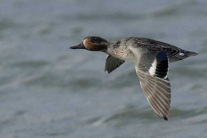 Teal  Conwy RSPB