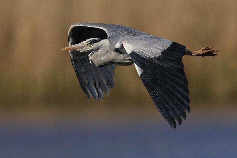 Grey Heron  Conwy RSPB