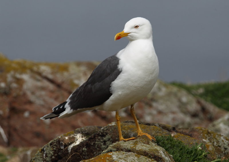Lesser Black-backed Gull      Scotland