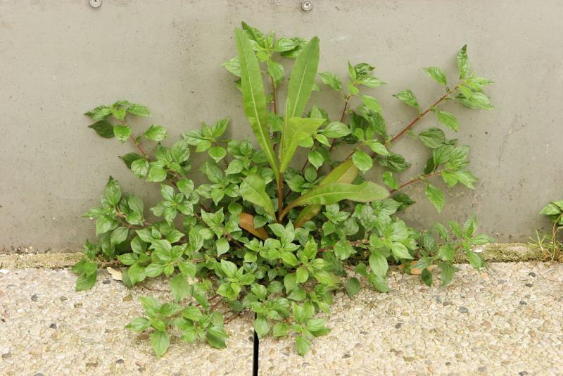 Plantes opportunistes...