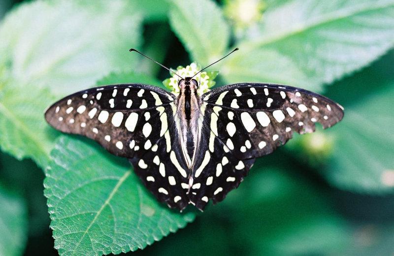 Visite de la serre aux papillons du petit village dUnawhir