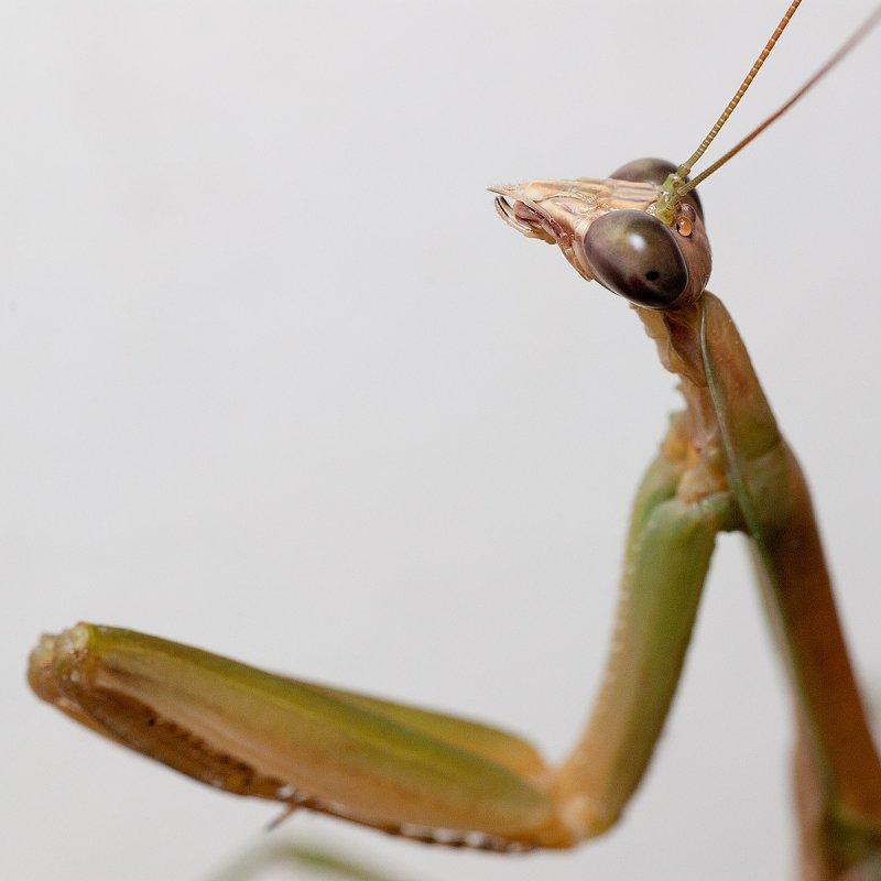 Praying mantis praying 7250