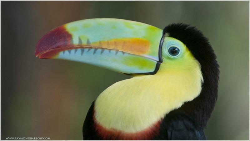 Toucan   (captive)