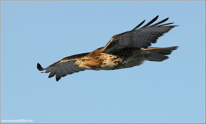 Red-tailed Hawk 135