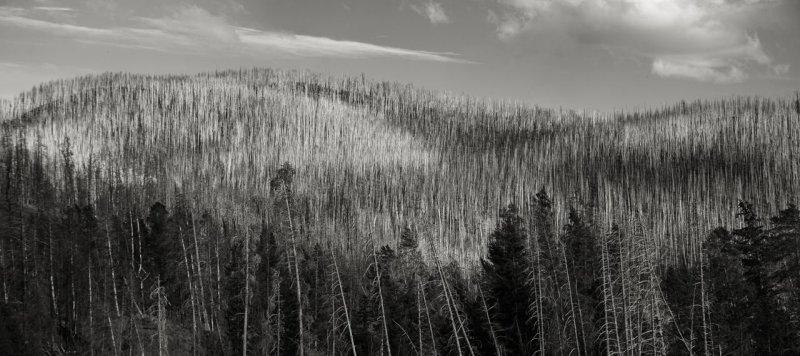 Mature Lodgepole Pine, Yellowstone National Park