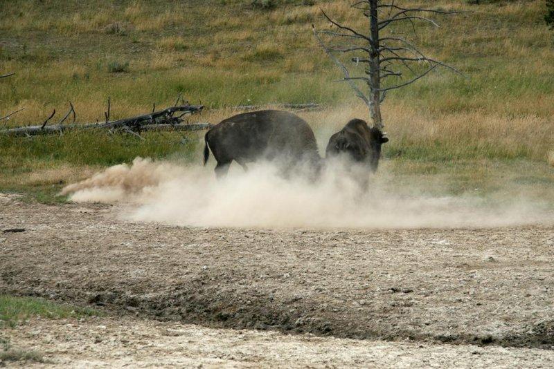 Male Buffalo Trying To Impress The Girlfriend, Yellowstone National Park